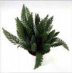 Аспарагус неприхотливое растение