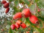Шиповник коричный - кладезь витаминов