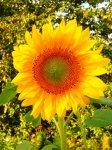 Подсолнух - солнечное лекарство