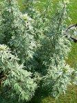 Полынь горькая (целебное растение)
