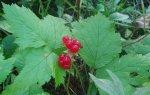 Костяника – лесная чудо-ягода