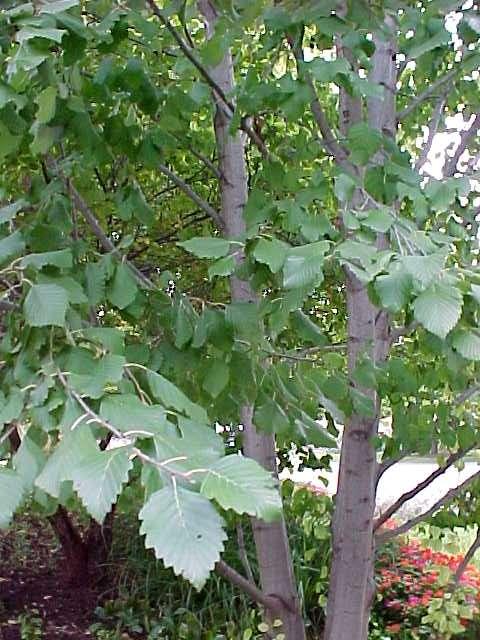 дерево для заготовок