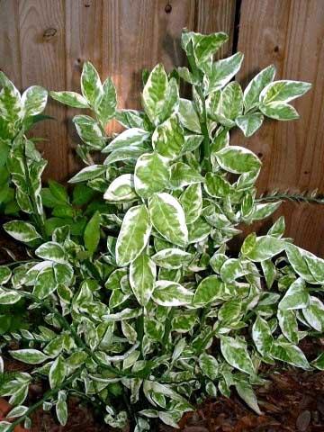 Душистые и приятно пахнущие с сильным ароматом растения