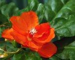 Переския. Комнатное растение