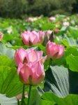 Лотос – красивейший южный цветок