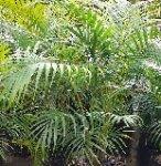 Арека - пальма для Вашего дома