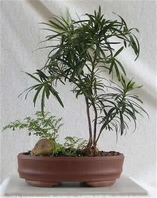 Это растение принадлежит к семейству