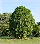 Граб – лиственное дерево южных лесов