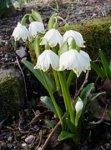 Белоцветник весенний - декоративное растение