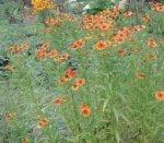 Гелениум осенний - декоративное растение
