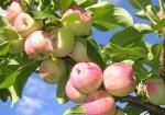Сбор и хранение яблок на зиму