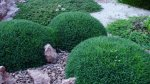 Фестука – ковровое растение