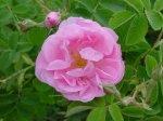Лечебное варенье из чайной розы