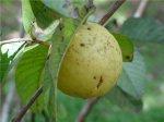 Гуава – тропическое плодовое дерево