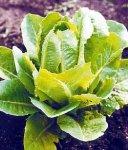 Салат Ромэн - целебный овощ