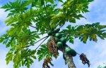 Противораковые свойства папайи