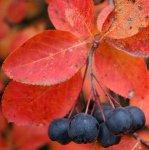 Блюда из черноплодной рябины (аронии)