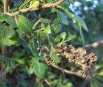Фагара – удивительное растение Африки